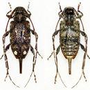 Image of <i>Oedopeza guttigera</i> Bates 1864