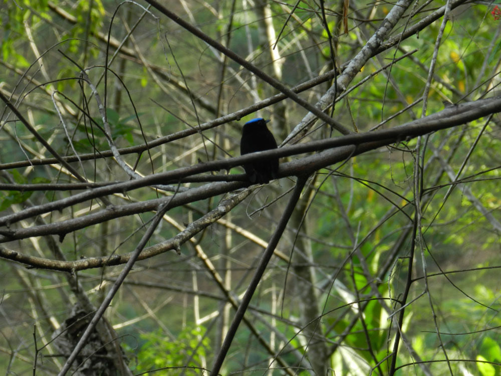 Image of Blue-crowned Manakin