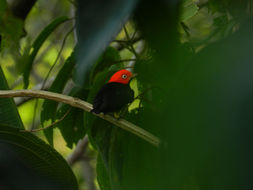 Image of Red-capped Manakin