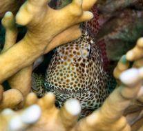 Image of Leopard Blenny