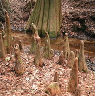 Image of bald cypress