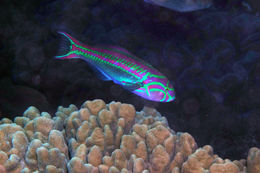 Image of Five striped surge wrasse