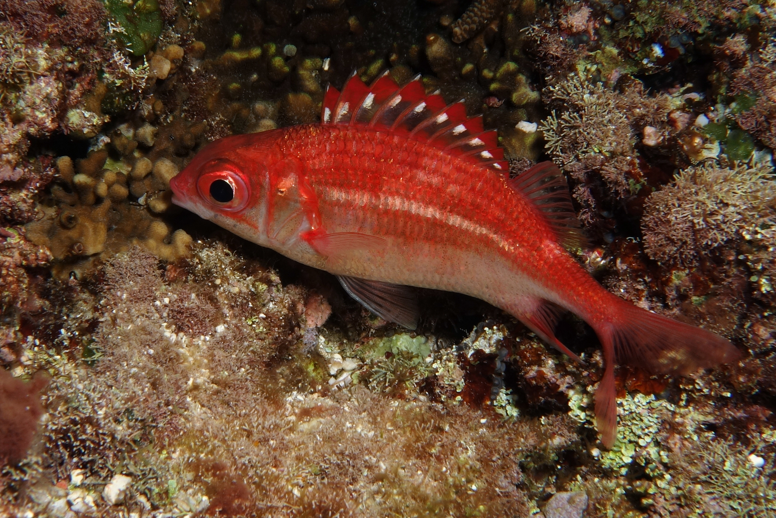 Image of Peppered Squirrelfish