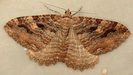 Image of Tissue Moth