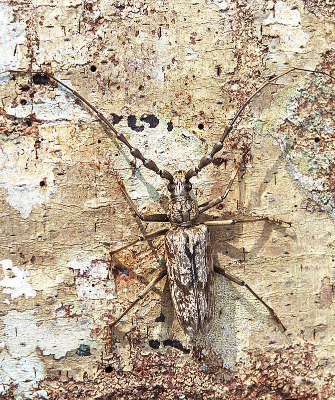 Image of Aeolesthes
