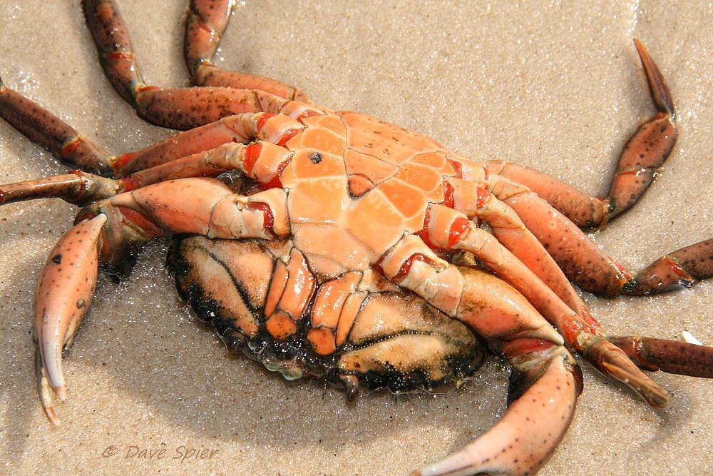 Image of Common shore crab