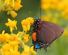 Image of Great Purple Hairstreak