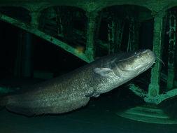 Image of European catfish