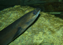 Image of European Eel