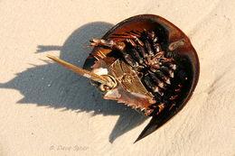 Image of Atlantic Horseshoe Crab