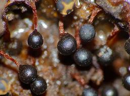Image of <i>Trichia botrytis</i>