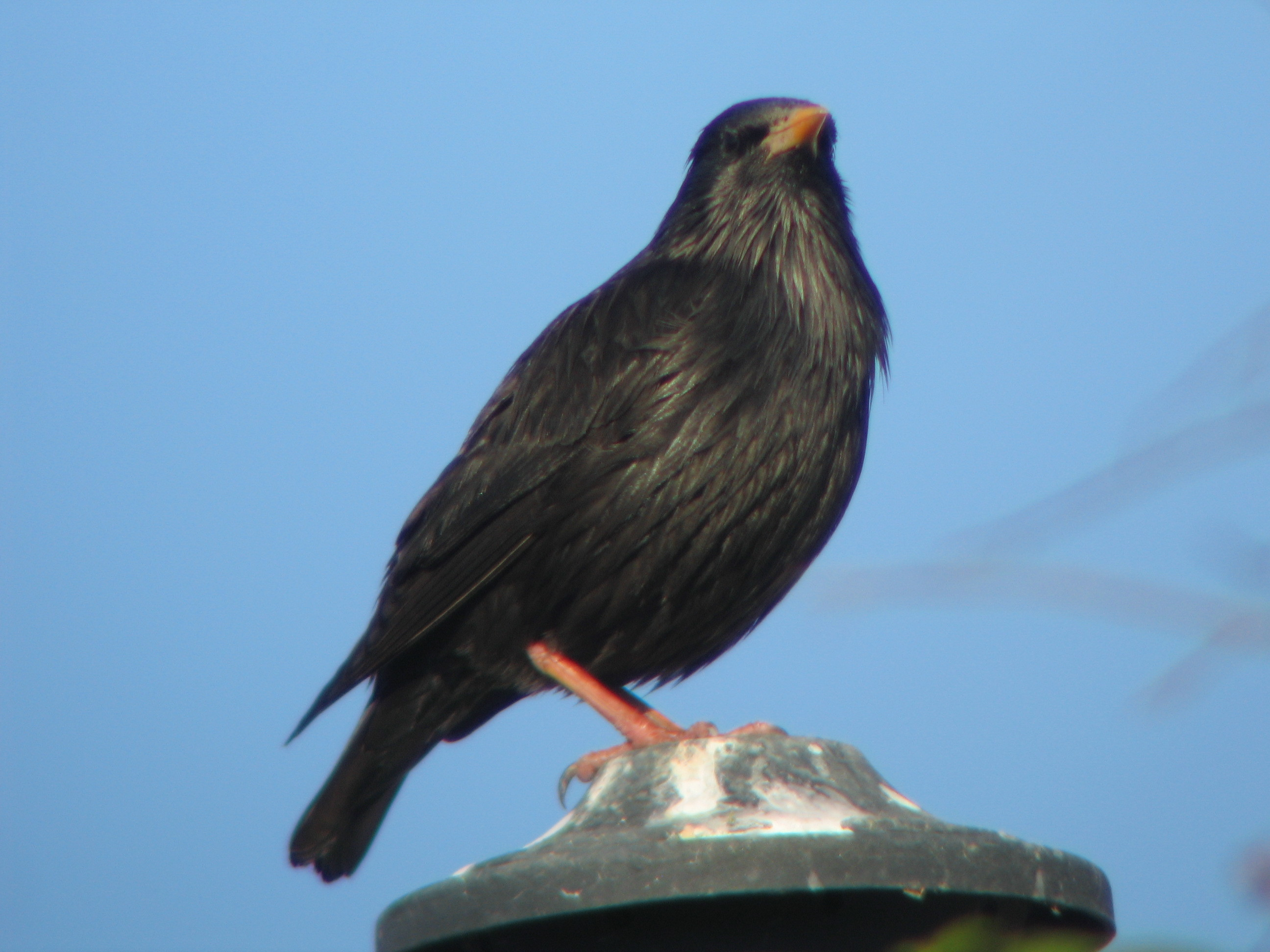 Image of Spotless starling