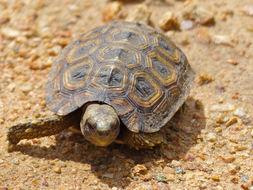 Image of Speke's hinge-back tortoise