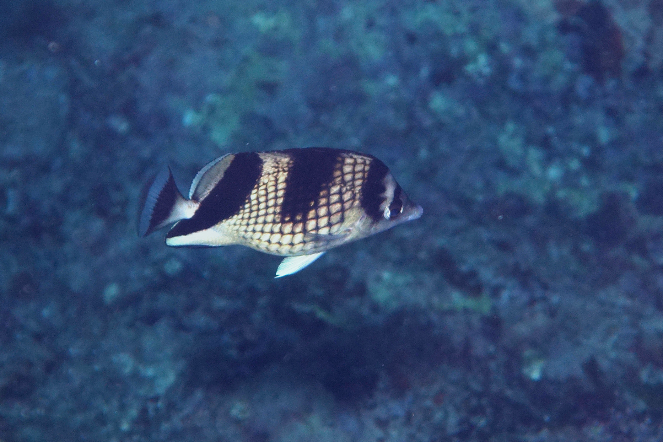 Image of Asian Butterflyfish
