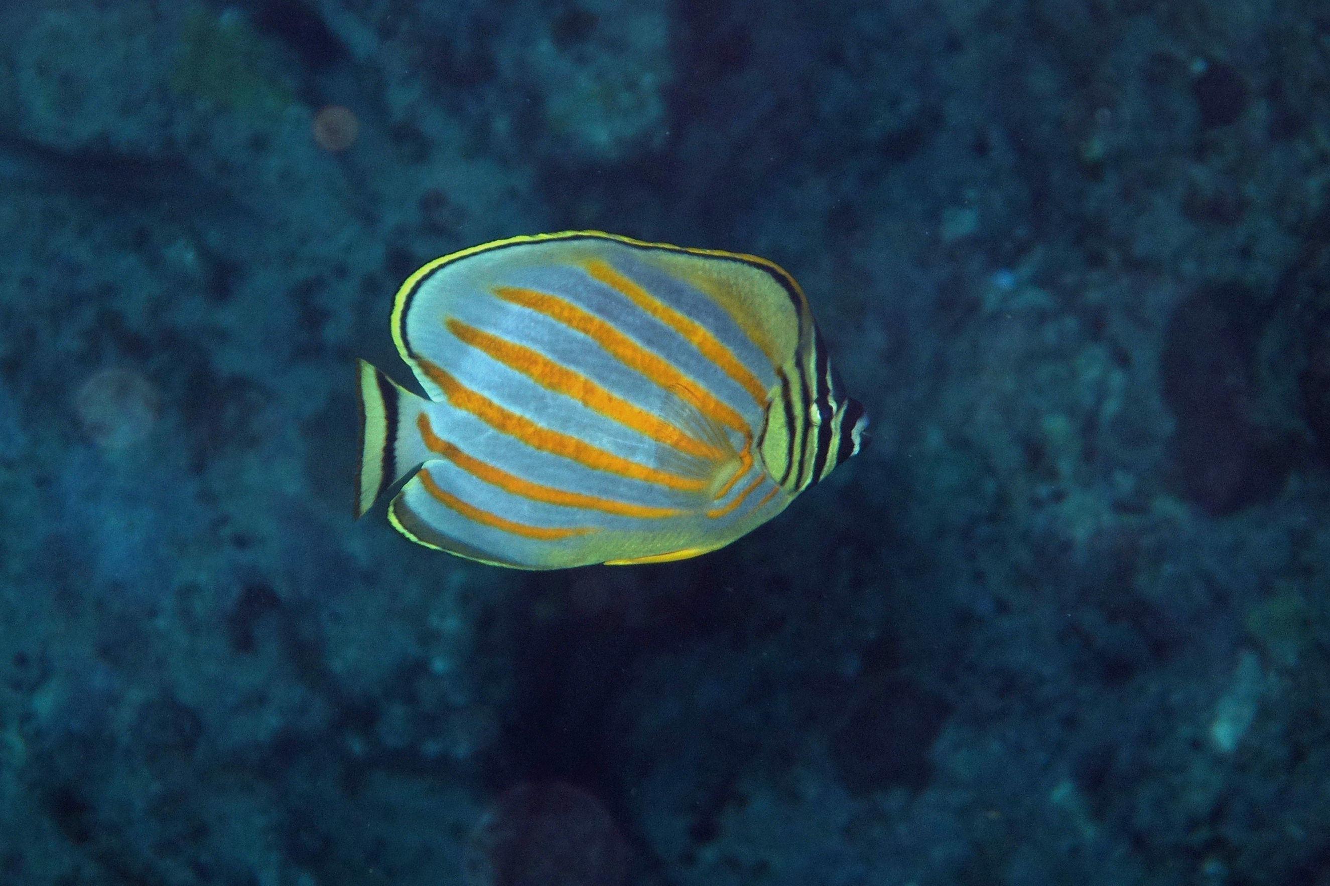Image of Clown Butterflyfish
