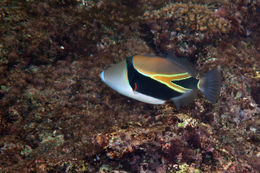 Image of Reef triggerfish