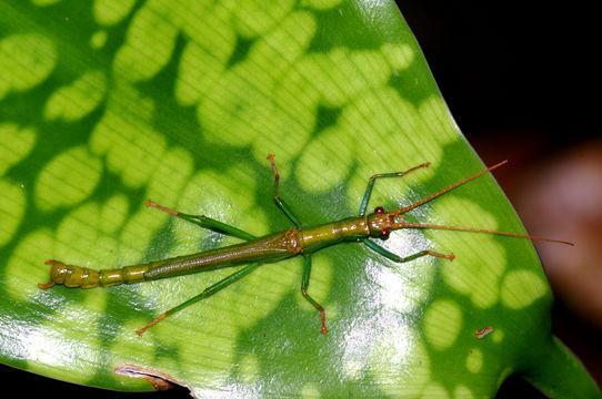 Image of <i>Dajaca monilicornis</i> Redtenbacher 1906