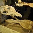 Image of <i>Platybelodon grangeri</i>