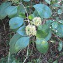 Image of beeftree