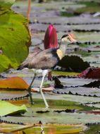 Image of Comb-crested Jacana