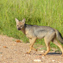 Image of Side-striped Jackal