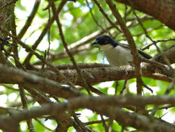 Image of Black-backed Puffback