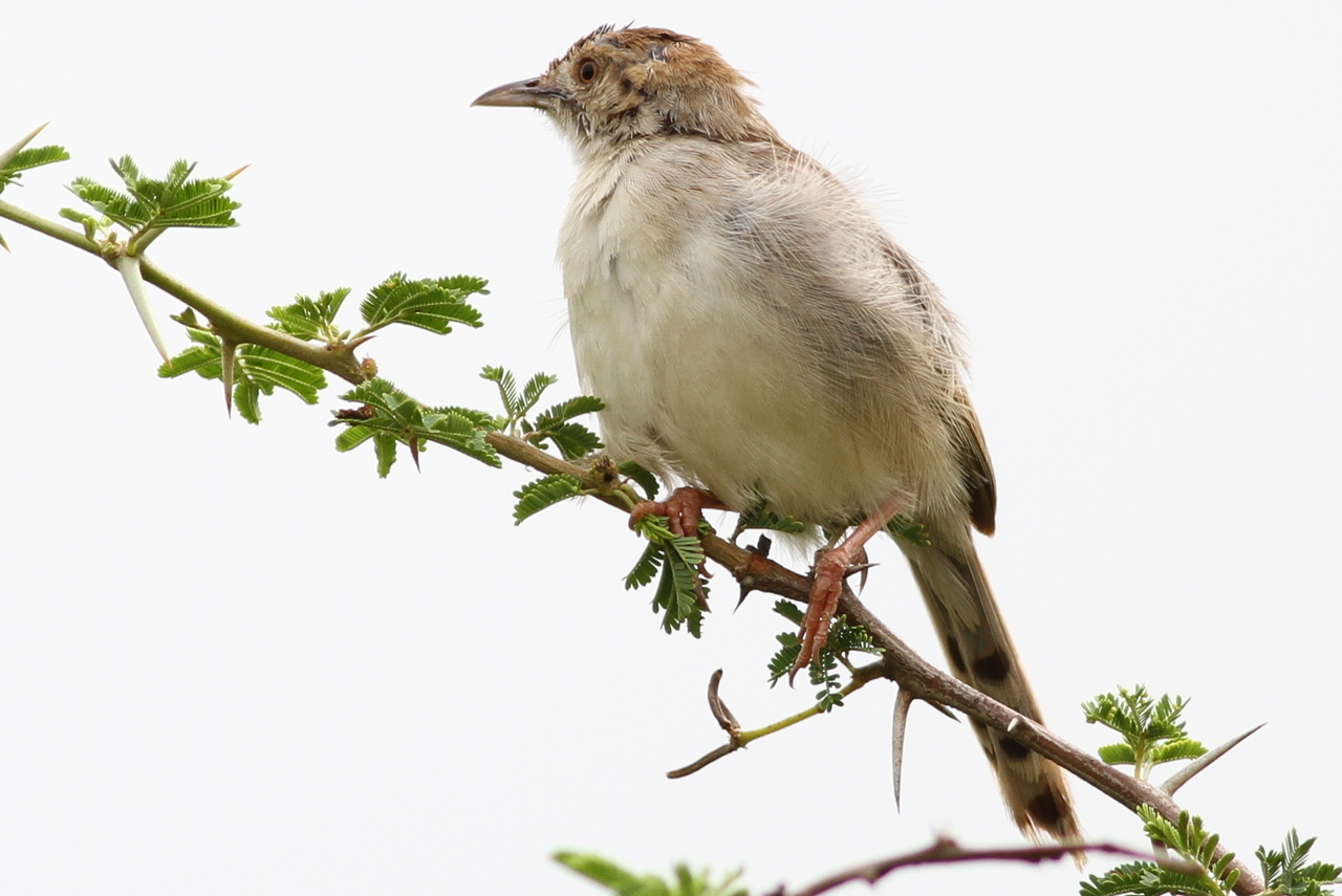Image of Rattling Cisticola