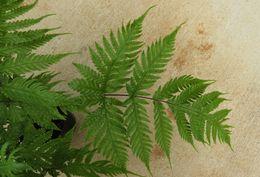 Image of Gaudichaud's halberd fern