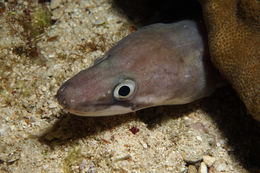 Image of Ash-colored conger eel