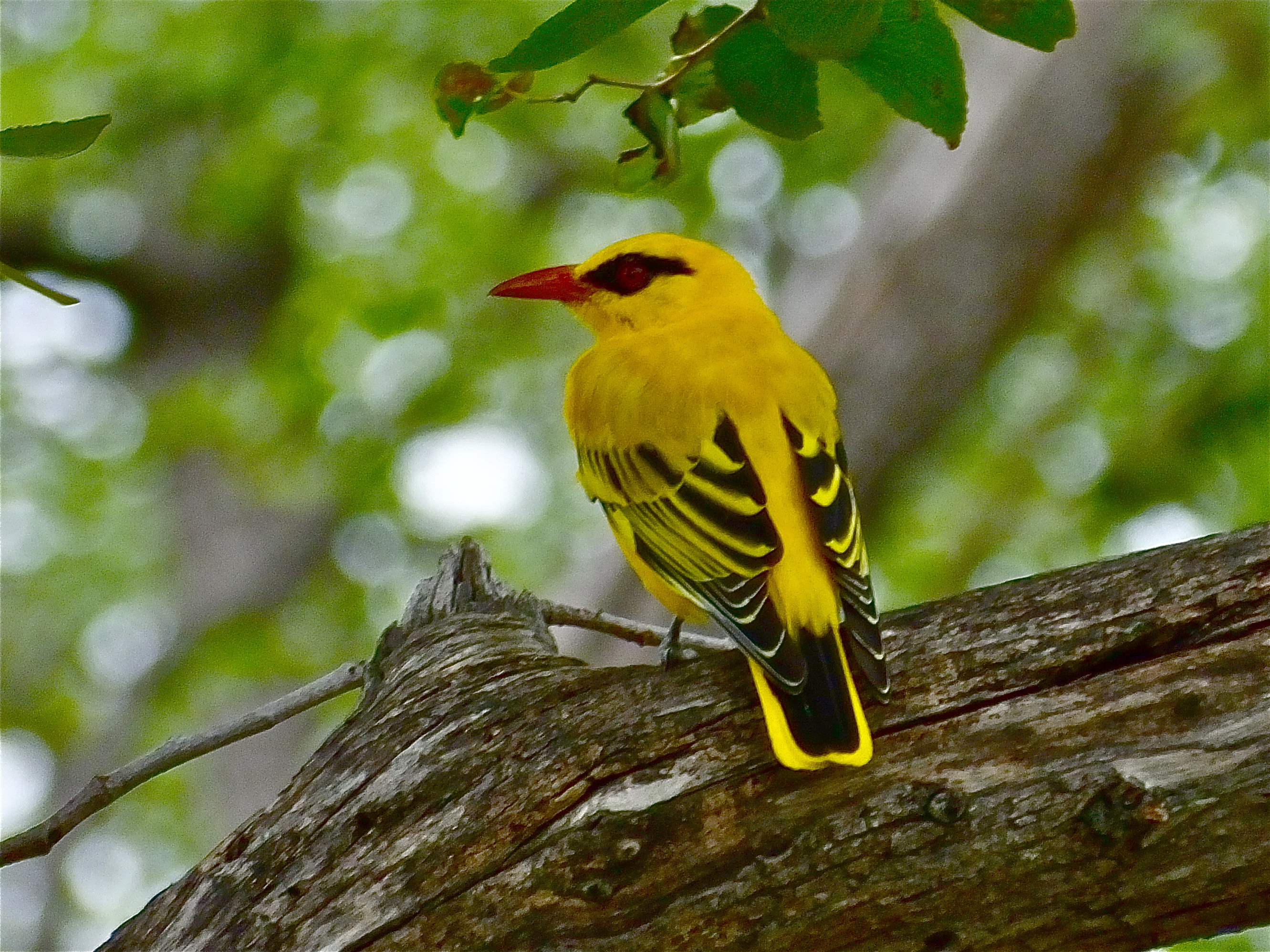 Image of African Golden Oriole