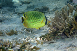 Image of Latticed Butterflyfish