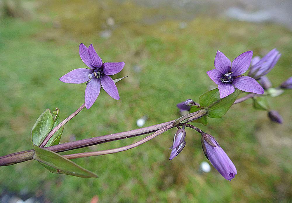 Image of <i>Gentianella jamesonii</i> (Hook.) Fabris
