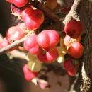 Image of <i>Gymnosporia rothiana</i>
