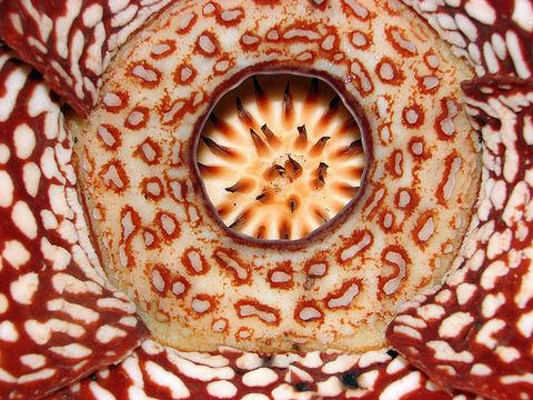 Image of <i>Rafflesia pricei</i> W. Meijer