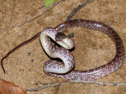 Image of Cross-barred Snake