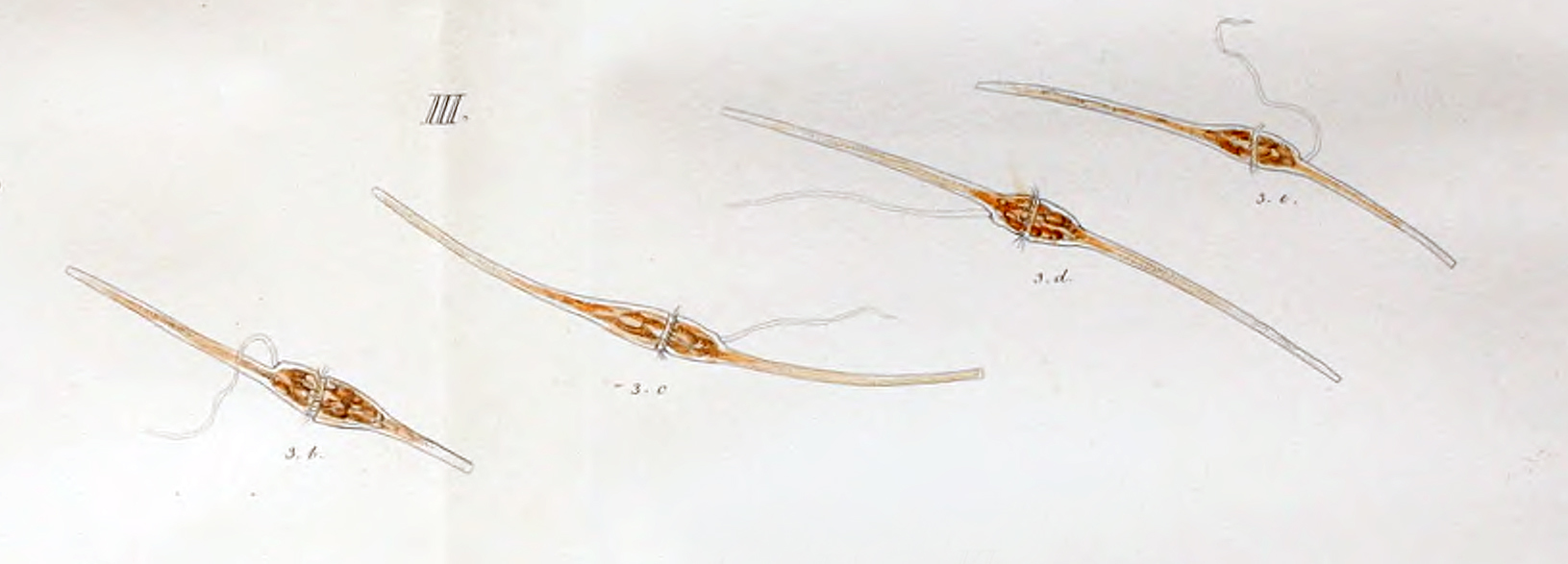 Image of <i>Ceratium fusus</i>