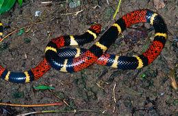 Image of Aquatic Coral Snake