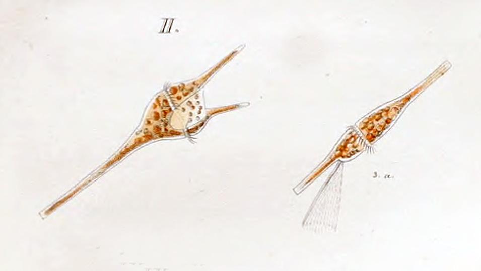 Image of <i>Ceratium furca</i>
