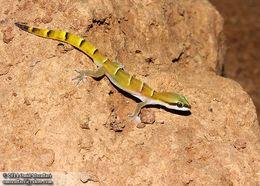 Image of <i>Tropiocolotes helenae</i>