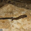 Image of Asian snake-eyed skink