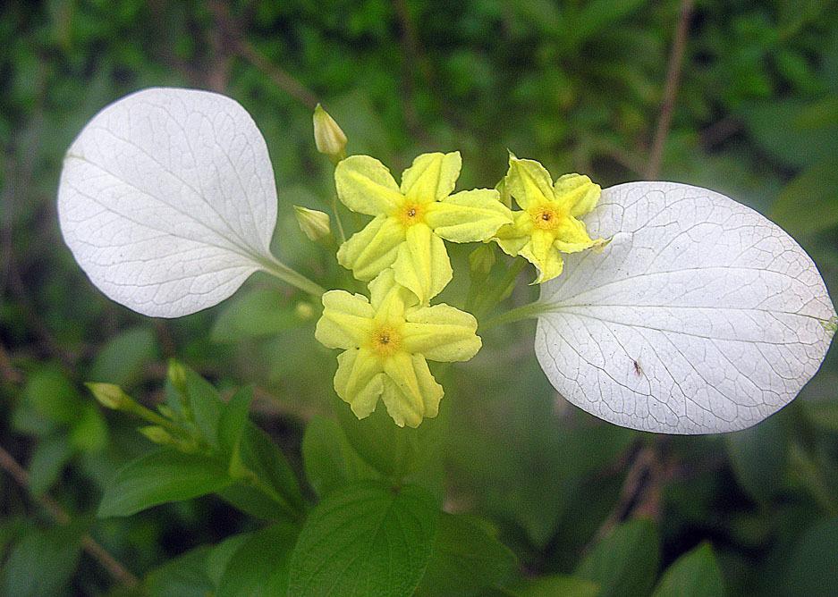 Image of <i>Pseudomussaenda flava</i> Verdc.