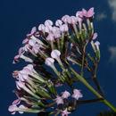 Image of <i>Macrocnemum roseum</i> (Ruiz & Pav.) Wedd.