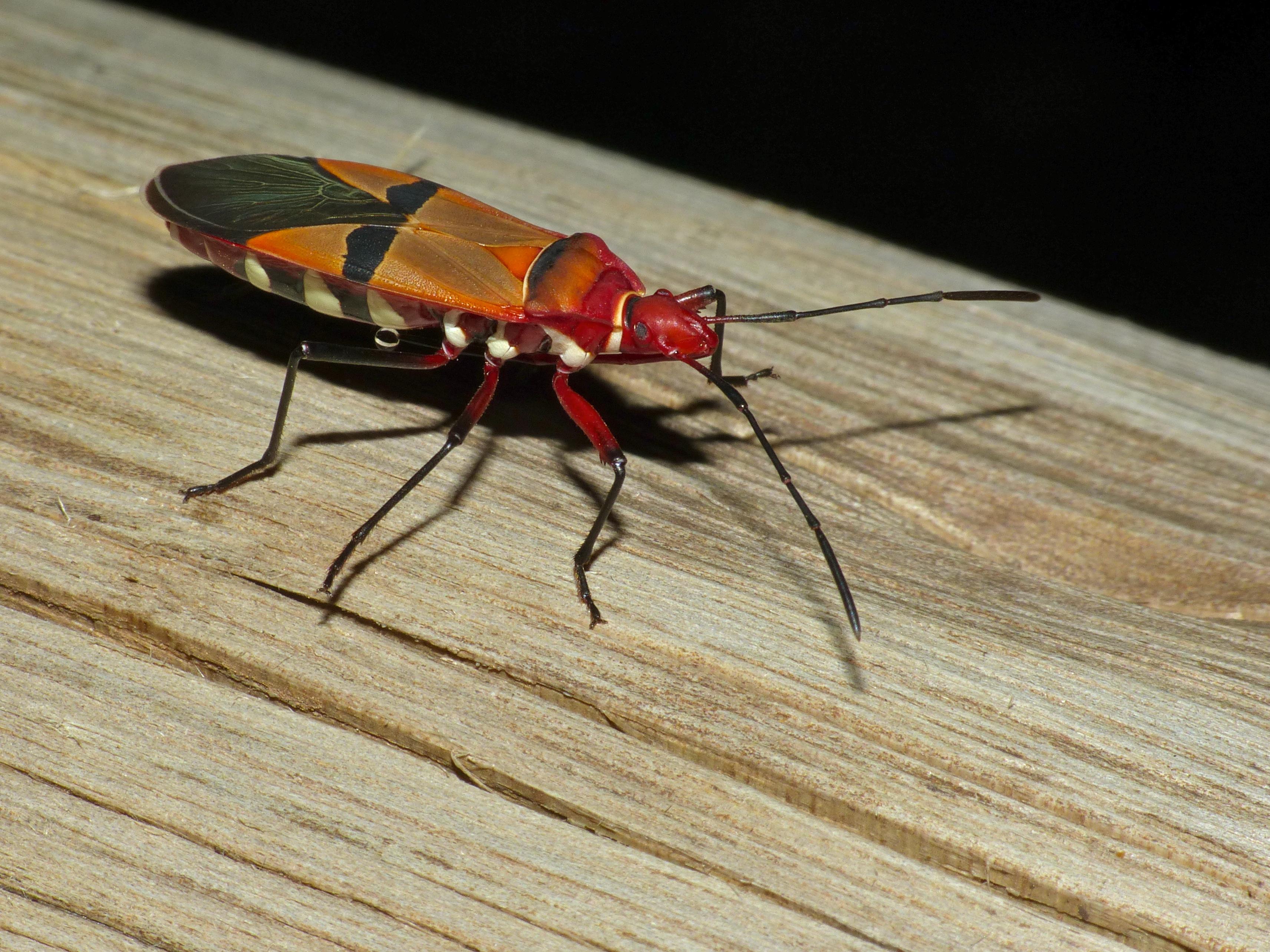 Image of <i>Dysdercus nigrofasciatus</i>