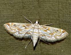 Image of Small Leafcutter Moth