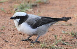Image of Southern White-crowned Shrike
