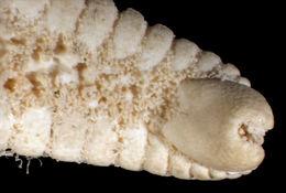 Image of <i>Tethyaster grandis</i> (Verrill 1899)