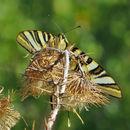 Image of <i>Iphiclides podalirius</i> ssp. <i>feisthamelii</i> (Duponchel 1832) Duponchel 1832