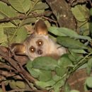 Image of greater galagos