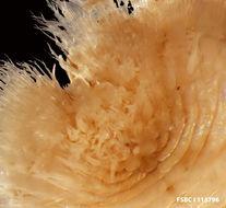Image of <i>Euphrosine triloba</i> Ehlers 1887