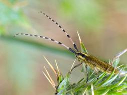 Image of <i>Agapanthia dahli</i>